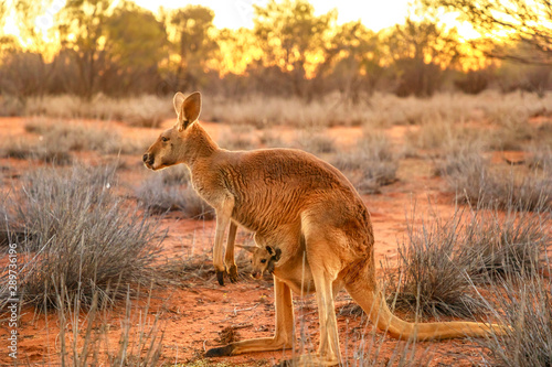 Spoed Foto op Canvas Kangoeroe Side view of red kangaroo with a joey in a pocket, Macropus rufus, on the red sand of outback central Australia. Australian Marsupial in Northern Territory, Red Center. Desert landscape at sunset.