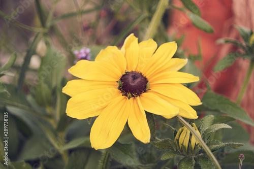 Photo Fleur nommée chapeau du soleil .