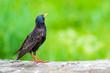 Leinwanddruck Bild - Colorful bird Starling. Colorful nature background. Bird: Common Starling. Sturnus vulgaris.