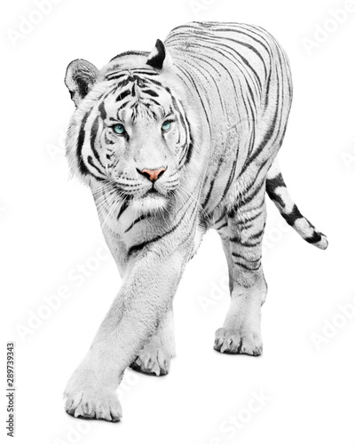Walking beautiful white tiger on white background Wall mural