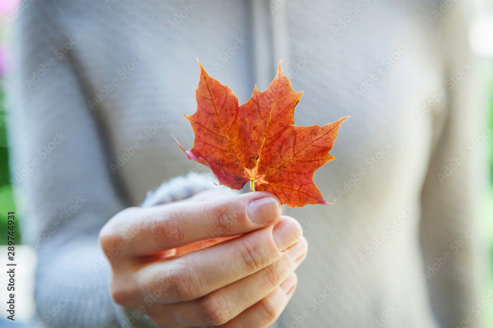 Fototapety, obrazy: Closeup natural autumn fall view woman hands holding red orange maple leaf on park background. Inspirational nature october or september wallpaper. Change of seasons concept