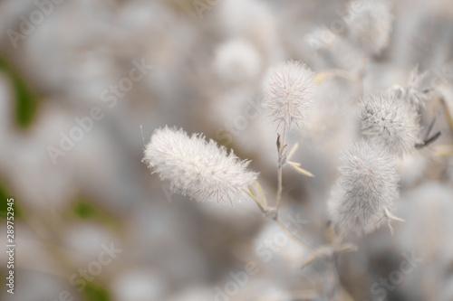 Wild white fluffy flowers (plants). Canvas Print