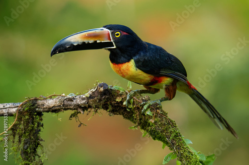 Poster Toucan Collared Aracari - Pteroglossus torquatus is toucan, a near-passerine bird. It breeds from southern Mexico to Panama, Ecuador, Colombia, Venezuela and Costa Rica