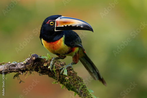 Collared Aracari - Pteroglossus torquatus is toucan, a near-passerine bird Wallpaper Mural