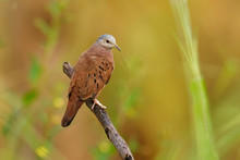 Ruddy Ground-dove - Columbina Talpacoti, Small New World Tropical Dove, Resident Breeder From Mexico South To Peru, Brazil And Paraguay, Argentina, Trinidad And Tobago