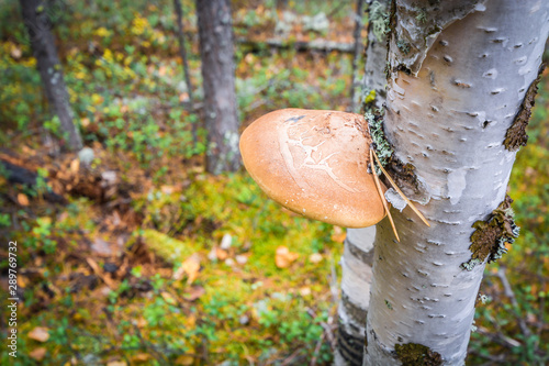 Young chaga mushroom with pine needle on birch tree in the forest Canvas Print