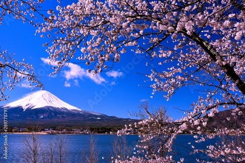 Obraz na plátně  富士山と河口湖の桜