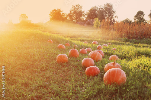 Recess Fitting Melon field with pumpkins at sunset