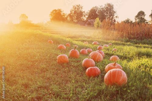 Foto auf AluDibond Orange field with pumpkins at sunset