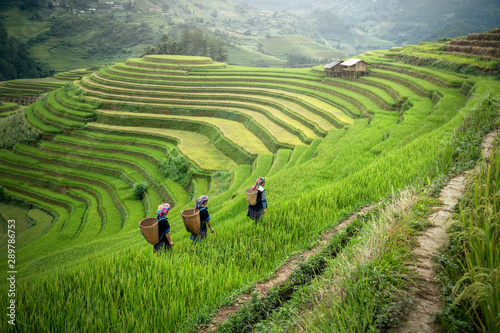 fototapeta na ścianę YenBai Mu Cang Chai, Hmong in the terraced rice field near Sapa, YenBai Mu Cang Chai in the rainy season north Vietnam
