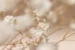 Leinwandbild Motiv Gypsophila dry little beige flowers in closeup macro
