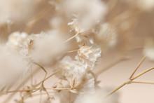 Gypsophila Dry Little Beige Fl...