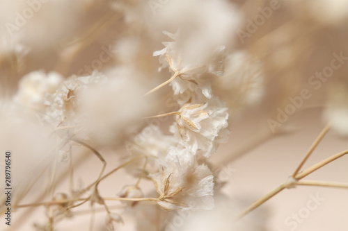 Photo Gypsophila dry little beige flowers in closeup macro