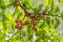 Ripe Almonds Nuts On Almond Tr...