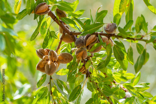 Canvas Print Ripe almonds nuts on almond tree ready to harvest