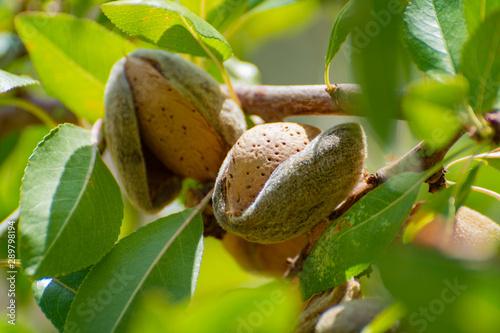 Fotografia Ripe almonds nuts on almond tree ready to harvest