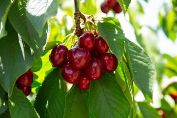 Sweet cherry tree with ripe berries