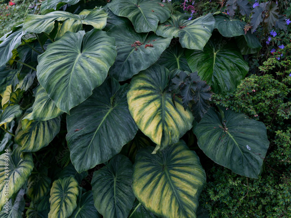 Fototapety, obrazy: Green leaves background. Natural tropical background nature forest jungle foliage.