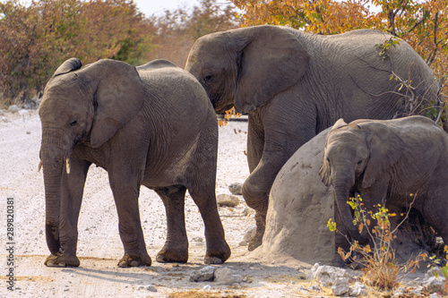 Elephant family with babies crossing unpaved road in bush, safari in Serengeti National Park, Tanzania, Africa. Sunny summer day during the dry season.