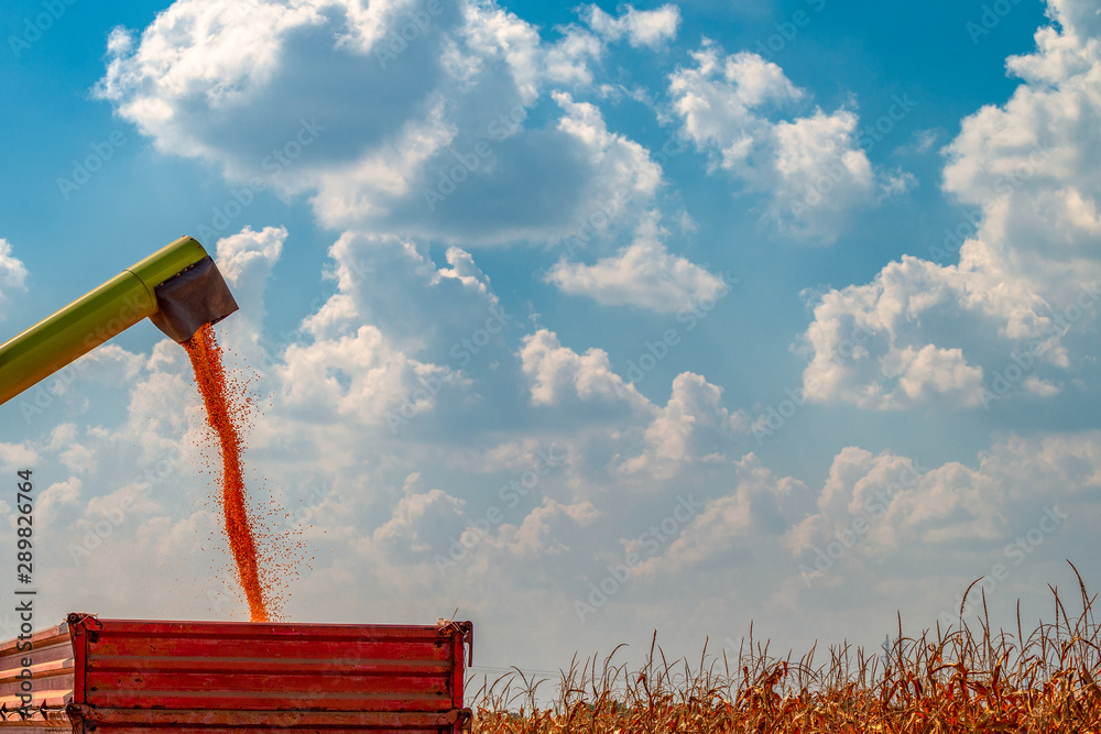 Fototapety, obrazy: Combine harvester unloader pouring corn grains into tractor carg