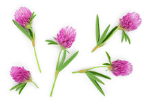 Clover Or Trefoil Flower Medicinal Herbs Isolated On White Background. Top View. Flat Lay