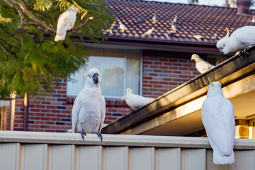 Sulphur-crested cockatoos seating in a row on a roof and on the fence. Urban wildlife. Australian backyard visitors