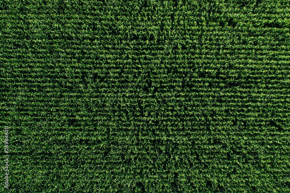 Fototapety, obrazy: Aerial view of green rows corn field in summer.