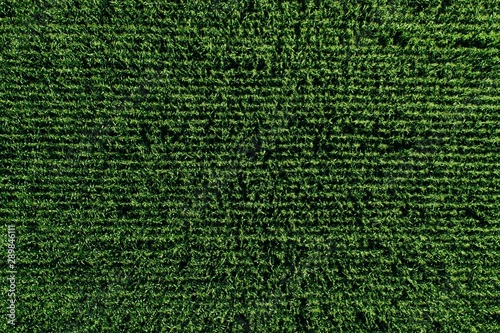 Fotografía Aerial view of green rows corn field in summer.