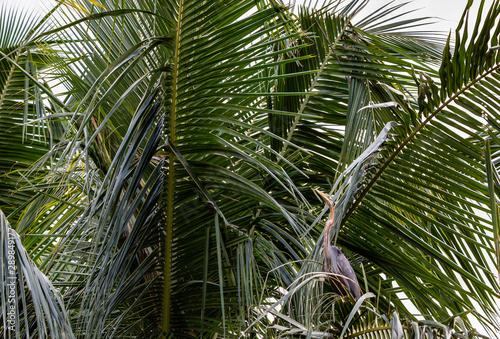 Fényképezés  Darter perched on the fronds of a palm tree