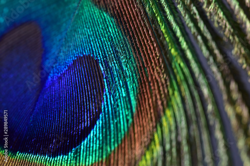 Tuinposter Pauw Half peacock feather with a unique texture with pearly overflow close-up