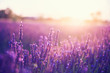 Lavender flowers at sunset in Provence, France. Vintage filter. Beautiful floral background