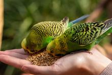 Grüne Wellensittiche Füttern...