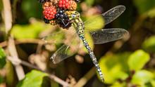 Dragonfly On Tree, Migrant Hawker Dragonfly, Aeshna Mixta, Feeding On Ripening Blackberries