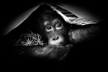Portrait Little Orangutan In M...