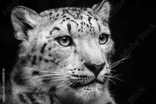 Poster Leopard Portrait black and white leopard