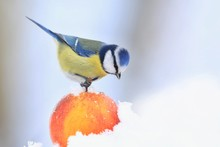 The Eurasian Blue Tit (Cyanistes Caeruleus) Is A Small Passerine Bird In The Tit Family, Paridae. Blue Tit Sitting On The Apple. Winter Scene With A Blue Tit