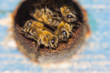 The entrance to the hive and the bee family peeps out of it