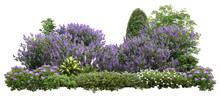 Flower Hedge Isolated On White Background. Garden Design. Lilacs Flowers And Green Plants For Landscaping. High Quality Cutout For Professional Composition