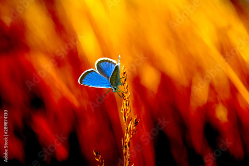 fototapeta na drzwi i meble A blue butterfly sits on a field grass at the epicenter of burning dry grass in a meadow.
