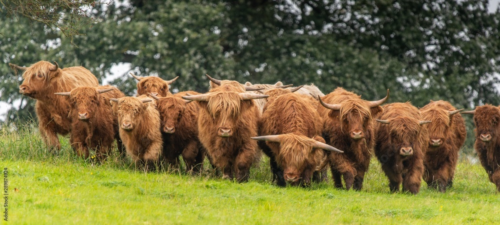 Fototapeta A close up photo of a herd of Highland Cows in a field
