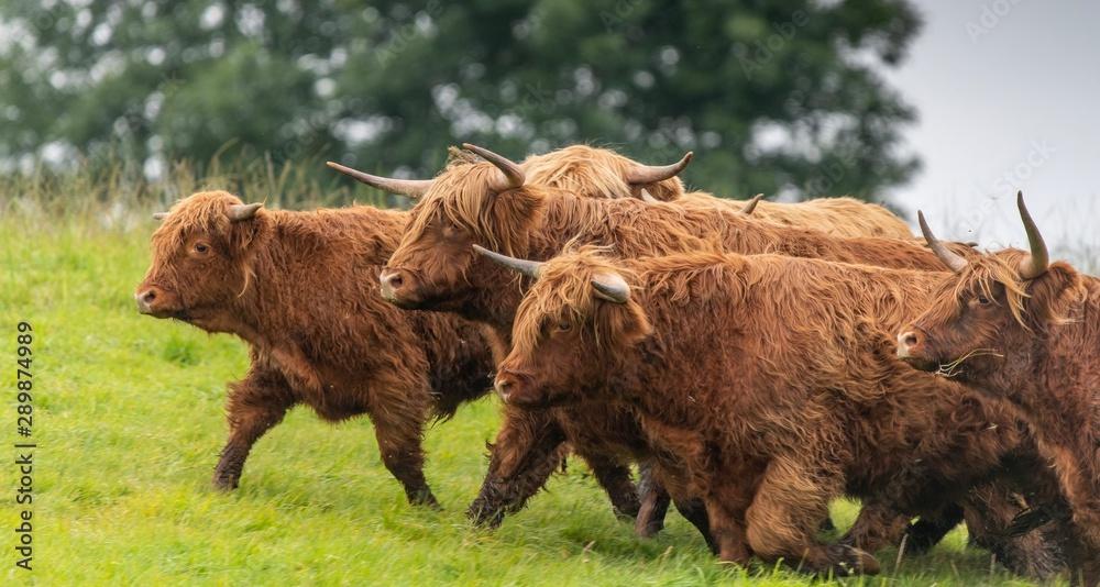 Obraz A close up photo of a herd of Highland Cows in a field  fototapeta, plakat