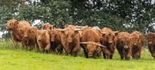 A Close Up Photo Of A Herd Of Highland Cows In A Field