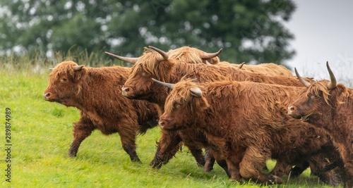 Fototapeta A close up photo of a herd of Highland Cows in a field  obraz