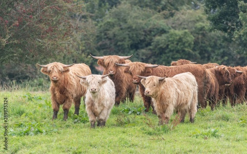 Recess Fitting Buffalo A close up photo of a herd of Highland Cows in a field