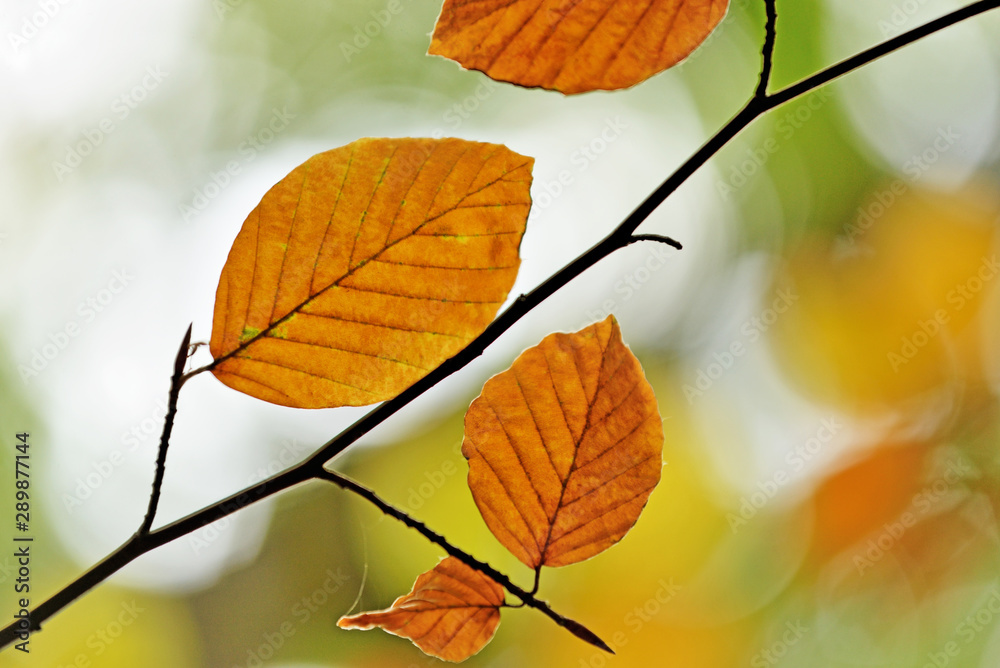 Fototapety, obrazy: Autumn leaves.