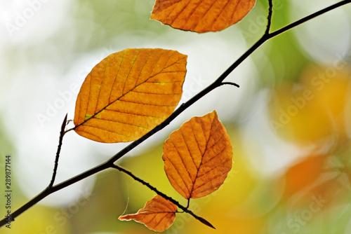 Fototapeta Autumn leaves. obraz