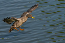 In-comming Yellow Billed Duck