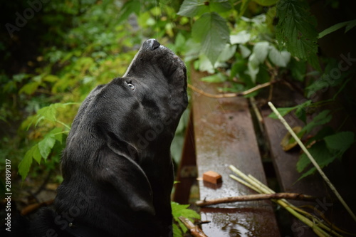 Photo Stands Panther Grey Cane Corso