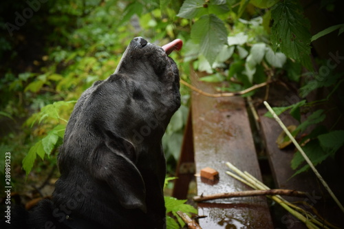 Photo Stands Panther Cane corso green