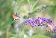 Hummingbird Hawk-moth Flying While Feeding Pink Flower